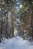 Pine alley in snow winter forest Stock Photography