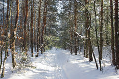 Pine alley in winter forest Stock Photo