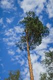 Pine alone of against sky royalty free stock images