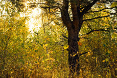 A pine amidst birches. In the countryside forest at morning sunlight Stock Photo