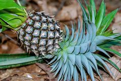 Pine apple in the field stock images