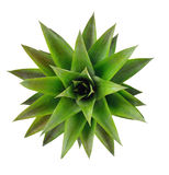 Pine apple head on white background,isolate fruits. Royalty Free Stock Photos