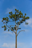 Pine Asia royalty free stock photography