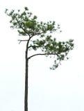 Pine Asia Royalty Free Stock Photo