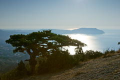 Pine At Crimea Coast Royalty Free Stock Photo