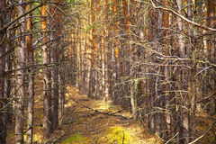 Pine autumn forest Stock Photos