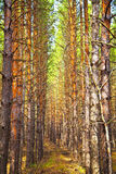 Pine autumn forest Stock Images