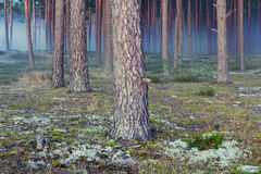 Pine autumn forest with a blue evening fog Royalty Free Stock Photography
