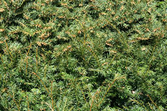 Pine background. A green pine tree background Royalty Free Stock Photos