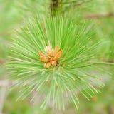 Pine background Stock Image