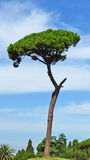 Pine on a background of blue sky Stock Photo