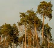 Pine Stock Photography