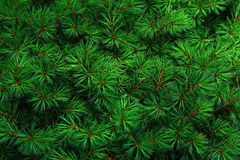 Pine Background Stock Photography