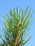 Pine on the background Royalty Free Stock Photos