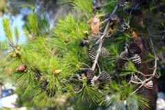 Pine background. Royalty Free Stock Photos