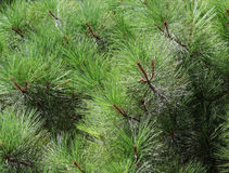 Pine background Stock Images