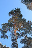 Pine on a backround of the blue sky Stock Image