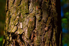 Pine bark. A close up shot of a tree trunk pattern Royalty Free Stock Images