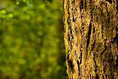 Pine bark. A close up shot of a tree trunk pattern Stock Photos