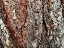 Pine Bark royalty free stock image