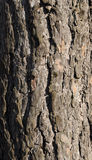 Pine bark Stock Photography