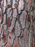 Pine bark closeup. Closeup of a White Pine tree in New Zealand. Lovely crisp, crinkly bark texture royalty free stock photos