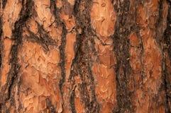 Pine bark closeup Royalty Free Stock Photography