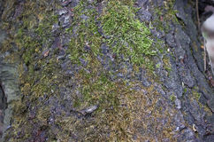 Pine bark coated with green moss macro. Royalty Free Stock Images
