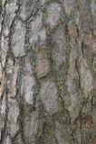 Pine bark coseup. Closeup of a 50yr pine tree. Soft neutral light Royalty Free Stock Photo