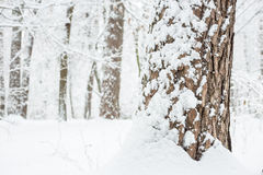 Pine bark is covered with fresh snow. Stock Images