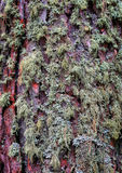 Pine bark covered with moss Royalty Free Stock Photos