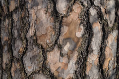 Pine bark. Detail of the bark of a pine tree Stock Image
