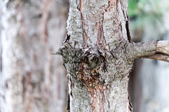 Pine bark in the focus Royalty Free Stock Photography