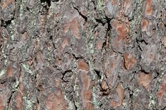 Pine bark lit by the sun. Background Stock Photo