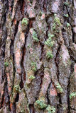 Pine bark with moss Royalty Free Stock Photo