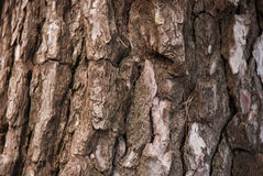 Pine bark Royalty Free Stock Photo