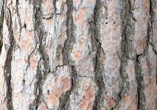 Pine bark pattern Royalty Free Stock Photography