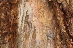 Pine bark resin texture background Stock Image