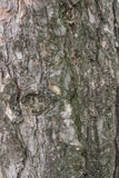 Pine bark section Stock Photo