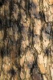 Pine bark. The bark of a pine with solar patches of light Royalty Free Stock Photo