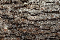 Pine Bark Surfaces Texture Backgrounds, Texture 5 Royalty Free Stock Photos