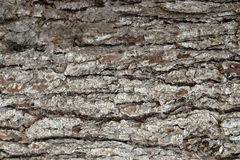 Pine Bark Surfaces Texture Backgrounds, Texture 4 Royalty Free Stock Images
