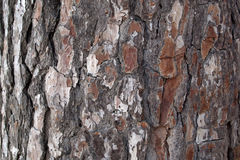 Pine Bark Surfaces Texture Backgrounds, Texture 01 Royalty Free Stock Photo