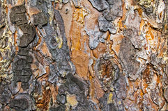 Pine bark texture. Stock Photos