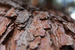 Pine bark texture background old ancient pine cedar maple spruce Stock Image