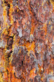 Pine bark texture with moss Stock Images