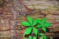 Pine bark texture Royalty Free Stock Photography