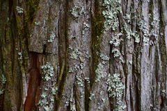 Pine bark texture Stock Images