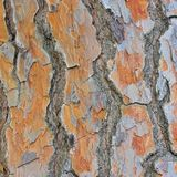 Pine bark Stock Image