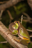 Pine Barrens Treefrog. A Pine Barrens Treefrog calling from a branch during breeding season royalty free stock image